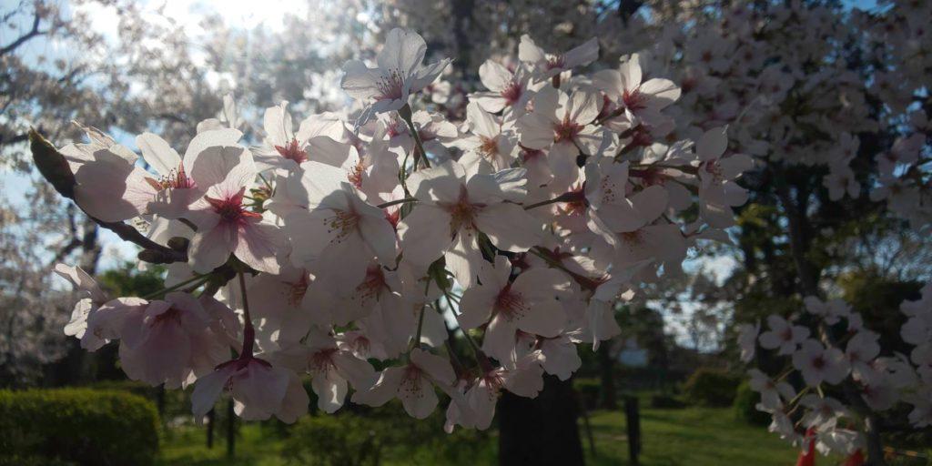 住吉公園 桜