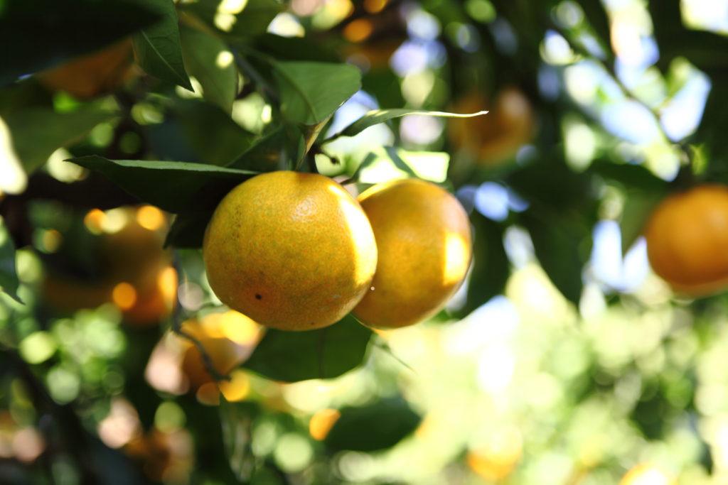 MiMC ONE「ハーブトゥースジェル」日本の柑橘のルーツである橘(たちばな)が鍵に