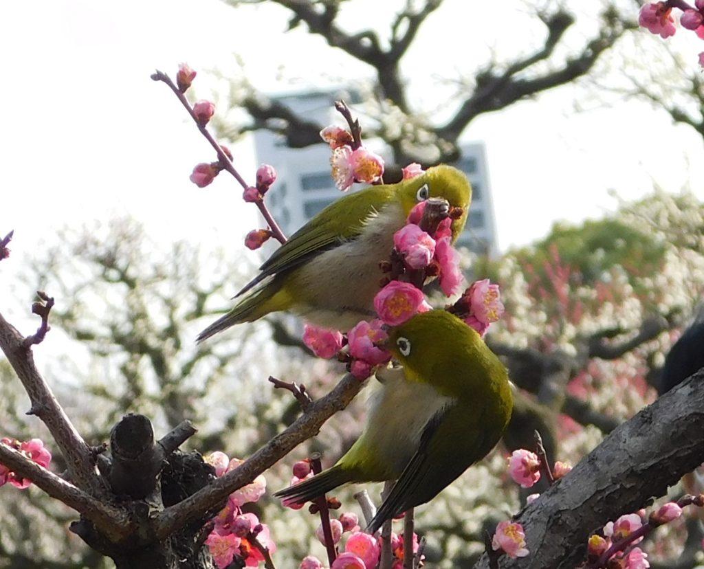 2021.2.23 大阪城梅林 メジロと梅の花