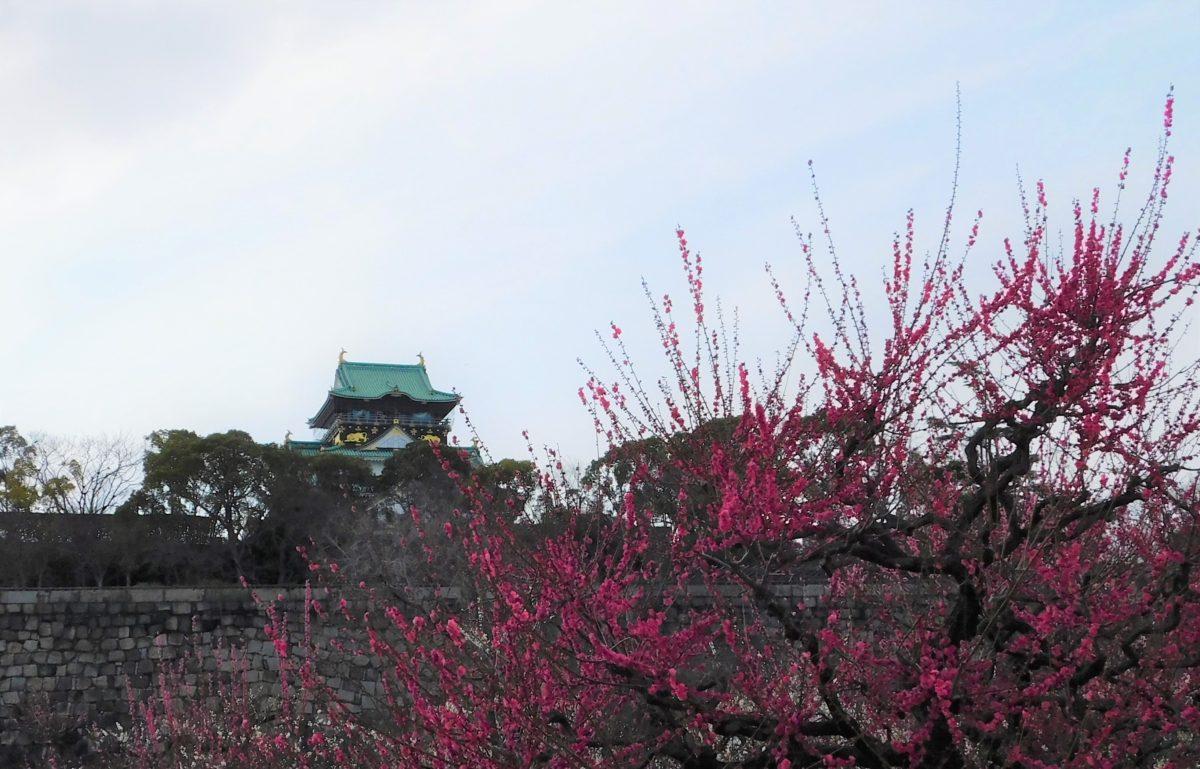 【 大阪城梅林の梅の開花状況🌺 】