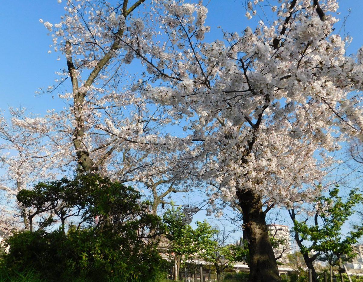 【 住吉公園桜🌸の開花状況 】