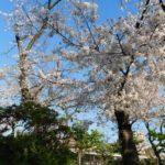 大阪市住之江区医療法人福涛会 平澤歯科医院から徒歩約15分 住吉公園 2021.3.26 桜