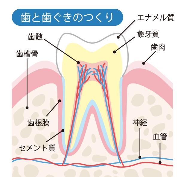 医療法人福涛会 歯の周辺名称